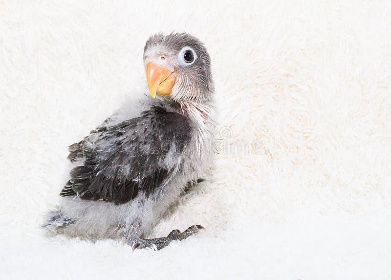 Dziecka lovebird na zamazanym białym sukiennym tle zdjęcia royalty free
