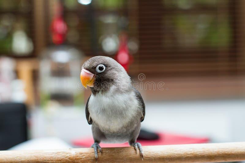 Dziecka lovebird pozycja na żerdzi na zamazanym tle w obraz stock