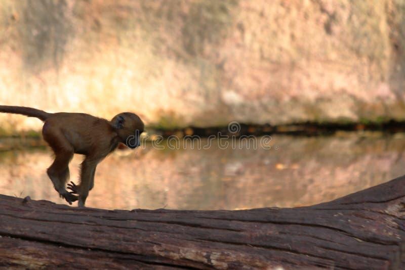 Dziecka Małpi doskakiwanie w zoo w Germany obraz royalty free