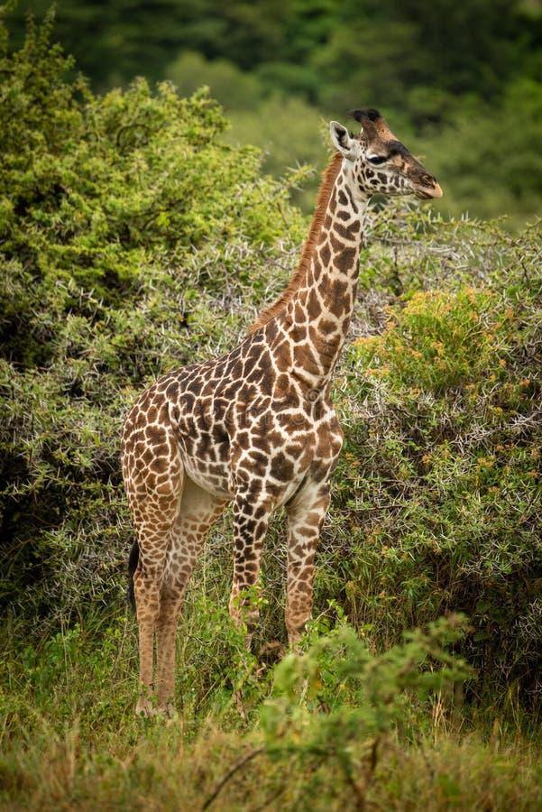 Dziecka Masai żyrafa stoi blisko cierniowych drzew zdjęcie stock