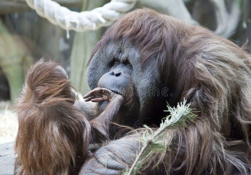 Dziecka orangutan sztuki z jego ojciec fotografia royalty free