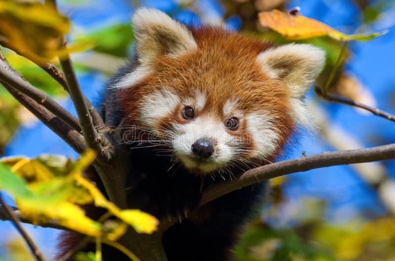 dziecka pandy czerwień obrazy stock