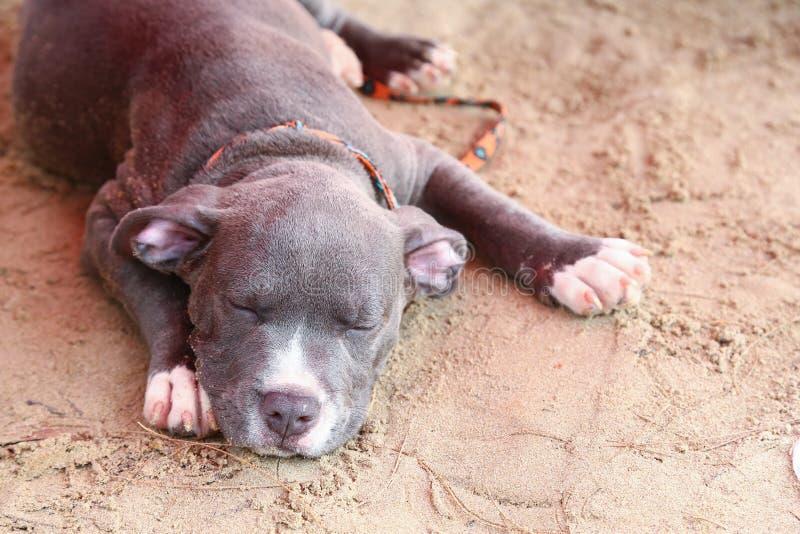 Dziecka Pitbull sen na plaży fotografia stock
