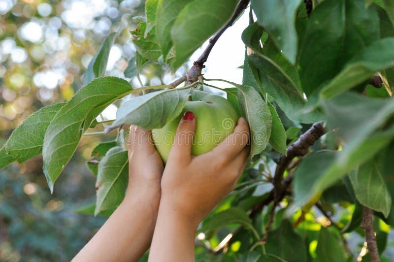 Dziecka ` s ręki dosięgają skubać zielonego Apple od gałąź w położenia słońcu błękitny obraz royalty free