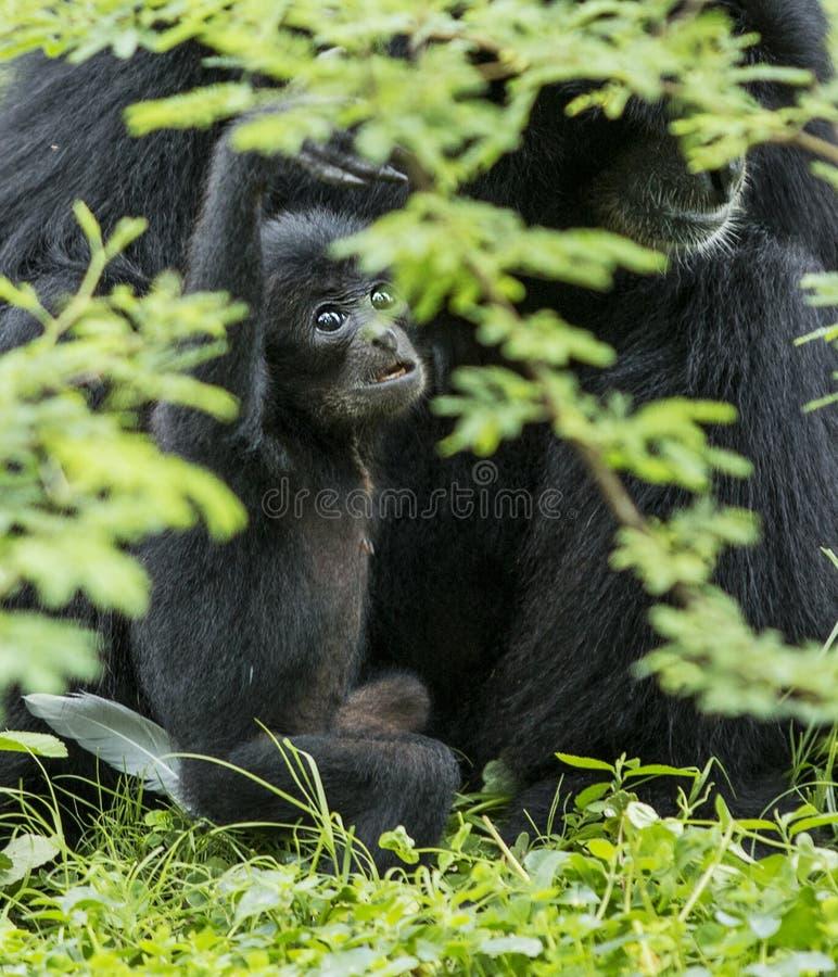 Dziecka Siamang małpa zdjęcia stock