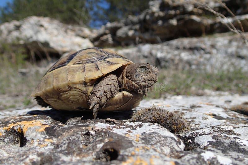 Dziecka tortoise mruganie w wiośnie fotografia stock