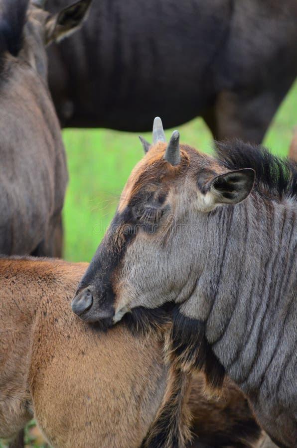 Dziecka Wildebeest fotografia royalty free