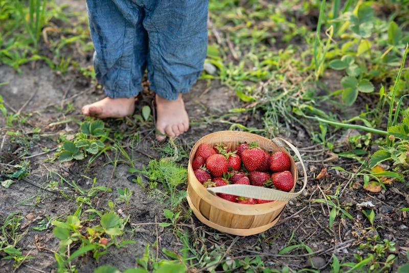 Dziecka zrywania truskawki Zdrowy jedzenie dla dzieci zdjęcie stock