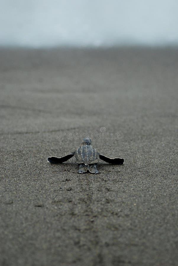 Dziecko żółw bierze pierwszych kroki nawadnia krawędź zdjęcia stock
