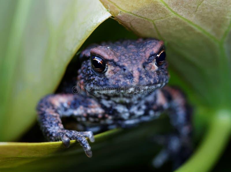 Dziecko żaba na zielonym liścia seansie dotyka zdjęcia stock