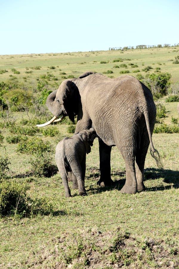 Dziecko afrykańskiego słonia karmienie od swój matki obrazy royalty free