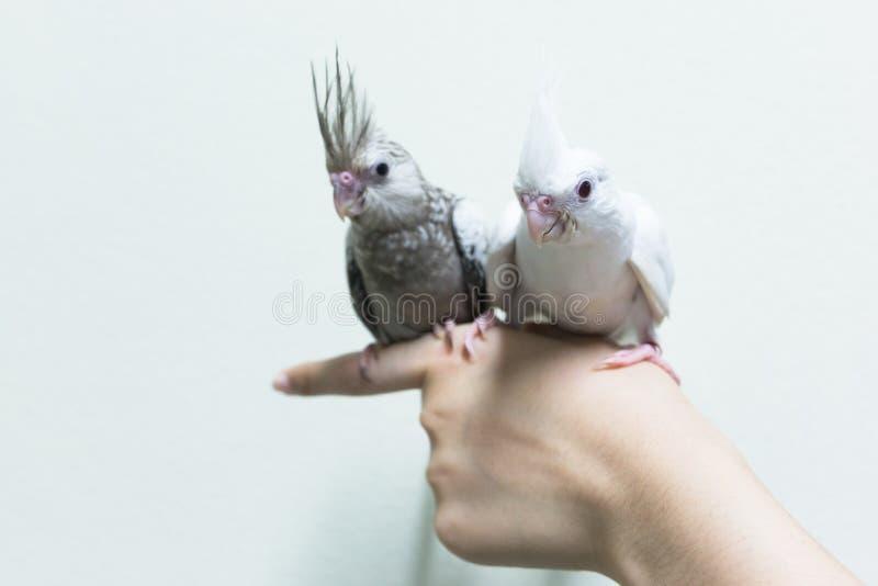 Dziecko bielu i szarość cockatiel ptaki na palcowej kobiecie obrazy royalty free