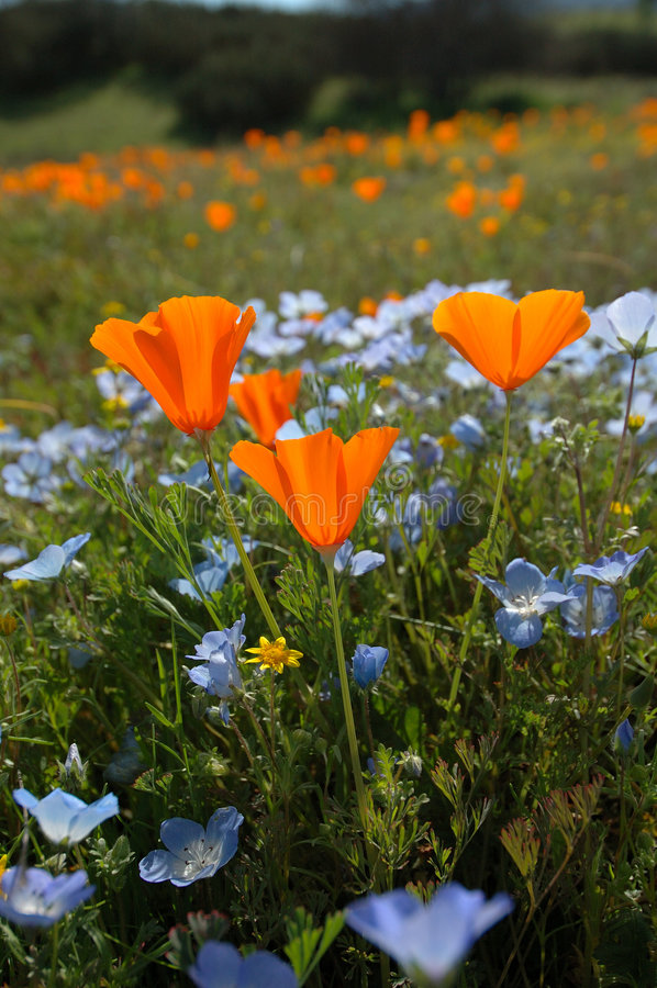 dziecko blue robaki Kalifornii oko, poppy goldfields widok pionowe s obrazy stock