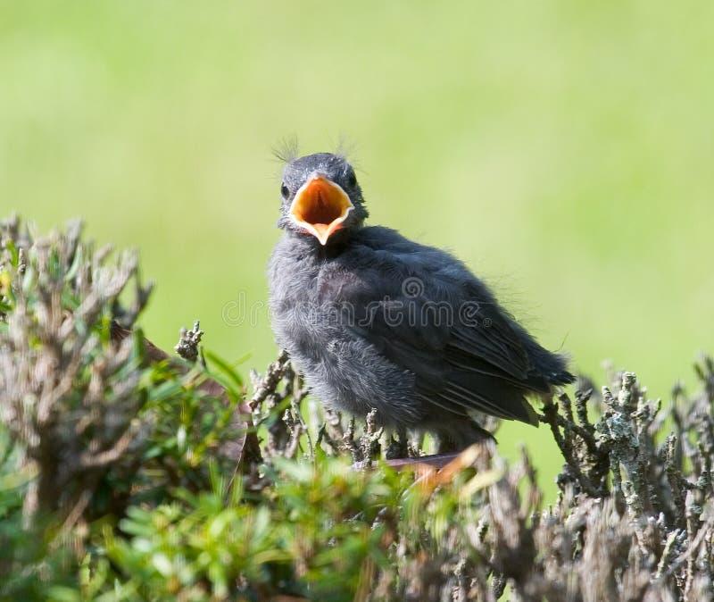 Dziecko Catbird Zdjęcie Royalty Free