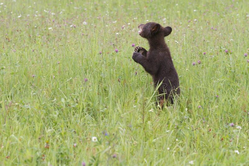 Dziecko Czarny niedźwiedź w Wildflowers obraz stock