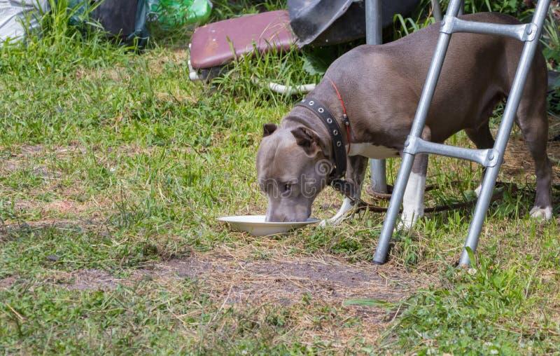 Dziecko czułość dla psa karmi purebred Amerykańskiego Staffordshire Terrier obraz royalty free