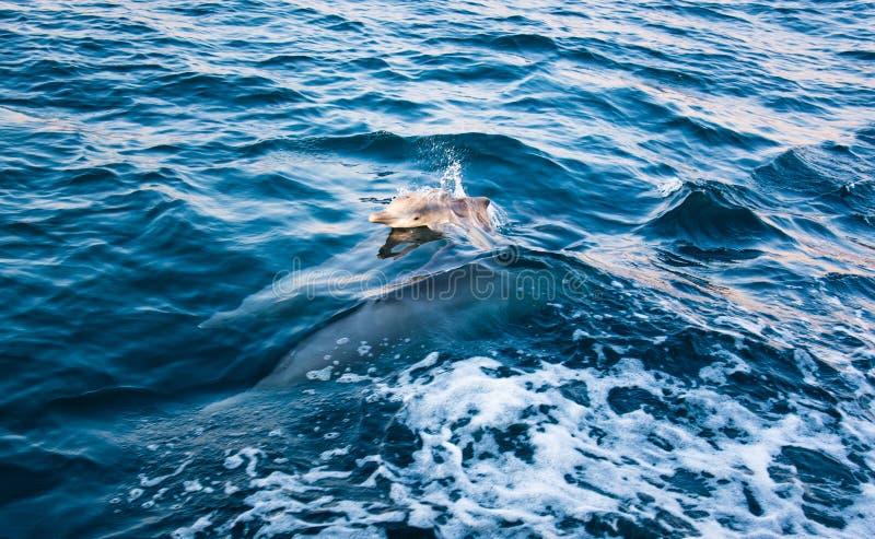 Dziecko delfinu wydźwignięcie nad kryształ - jasna woda obrazy stock