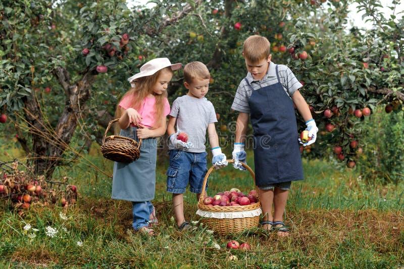 Dziecko dziewczyny chłopiec brata siostry jabłka pomocy fartucha ogrodowe duże koszykowe rękawiczki wpólnie pracują gromadzenie s zdjęcia royalty free