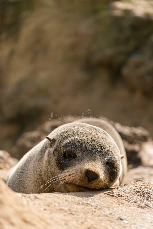 Dziecko foka w Nowa Zelandia obrazy stock