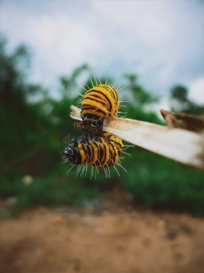 Dziecko gąsienicy chlanie fotografia stock