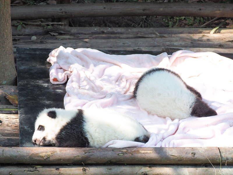 Dziecko gigantycznej pandy dosypianie obrazy royalty free