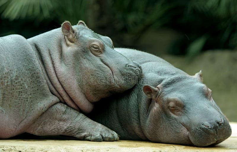 dziecko hipopotamy zdjęcie stock