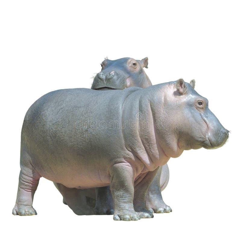 dziecko hipopotamy odizolowywali biel dwa obraz royalty free