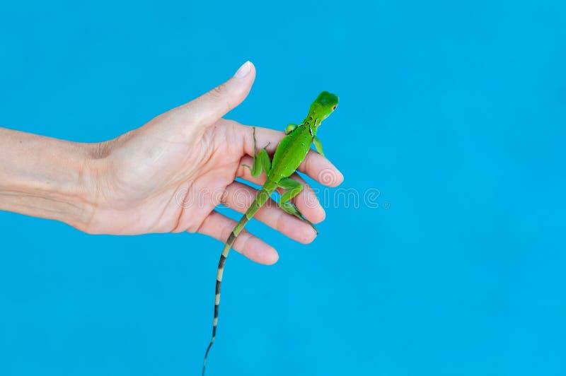Dziecko iguana Trzymająca w palmie ręka fotografia royalty free