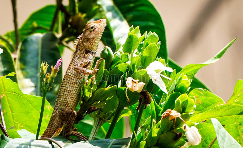 Dziecko jaszczurka bierze sunbath obraz stock