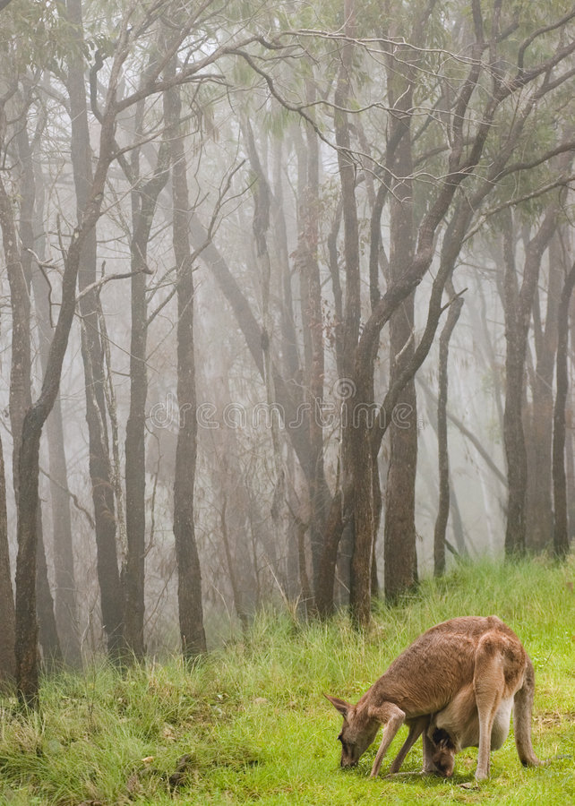dziecko joey kangur karmienia zdjęcie royalty free