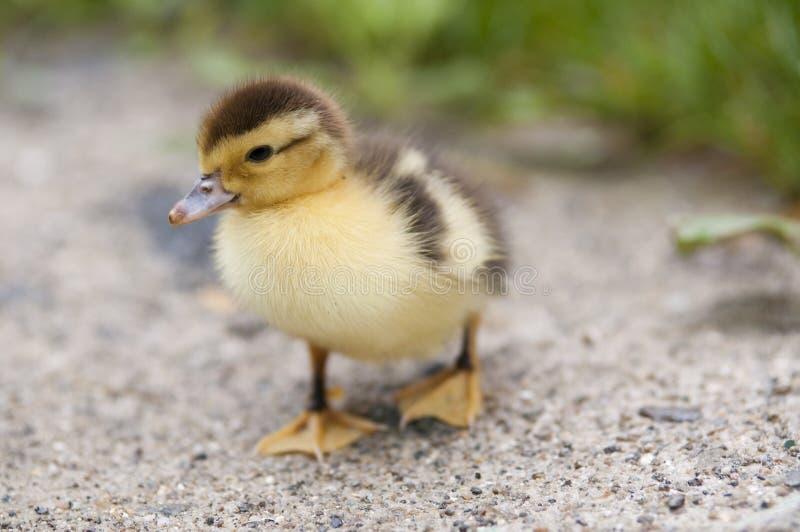 dziecko kaczka obraz stock