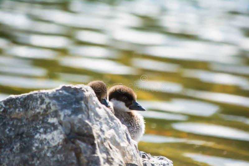 Dziecko kaczki obraz royalty free