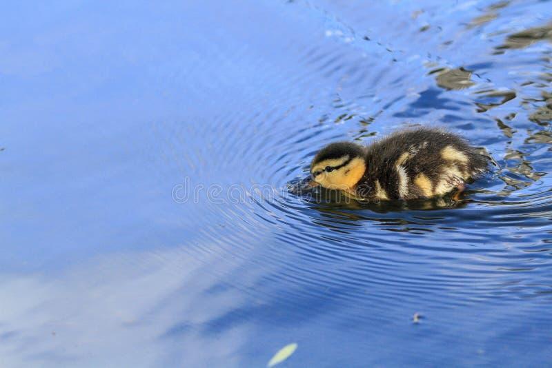 Dziecko kaczki dopłynięcie obrazy stock
