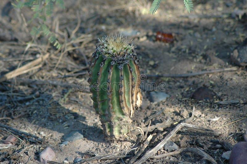 Dziecko kaktus obraz stock