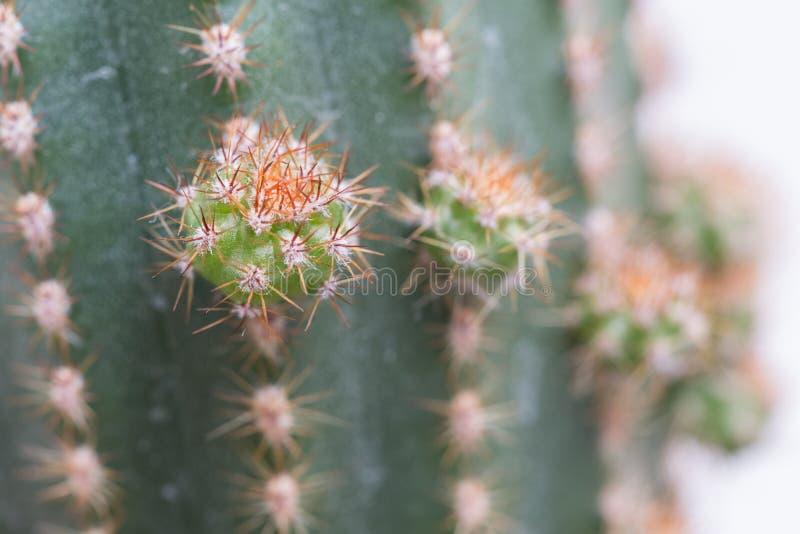 Dziecko kaktus obrazy royalty free
