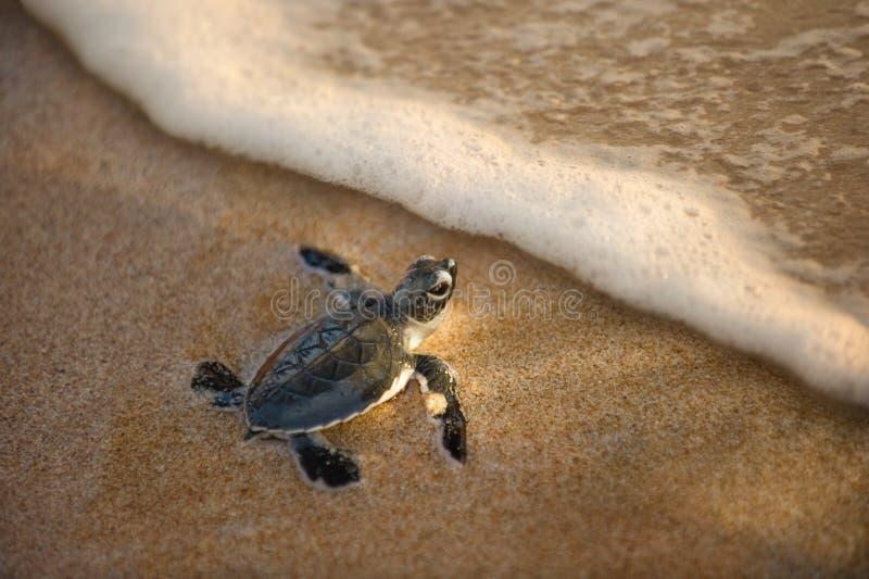 dziecko klujący się niedawno ocean w kierunku żółwia zdjęcia stock