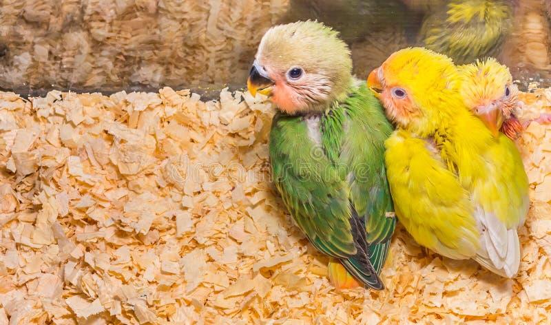 Dziecko koloru żółtego lovebird fotografia stock