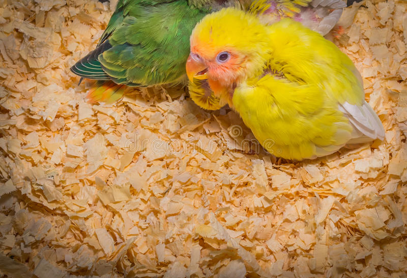 Dziecko koloru żółtego lovebird zdjęcia royalty free