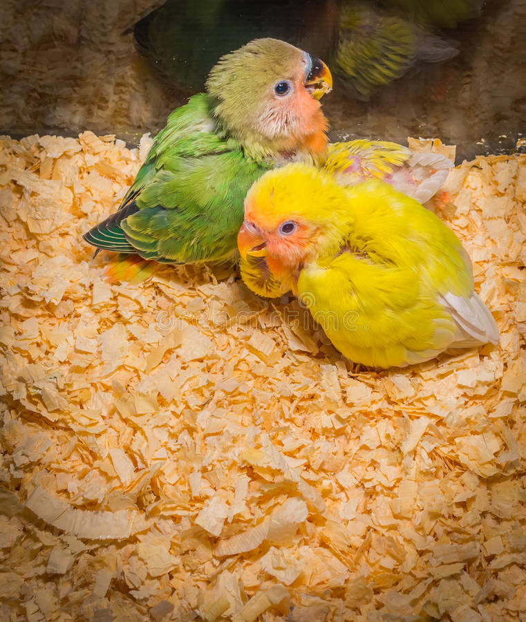 Dziecko koloru żółtego lovebird zdjęcia stock
