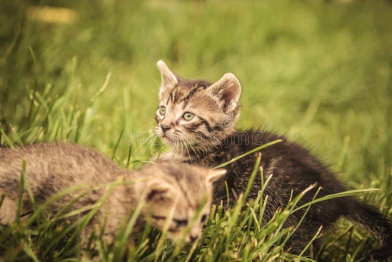 Dziecko koty bawić się w trawie zdjęcia stock