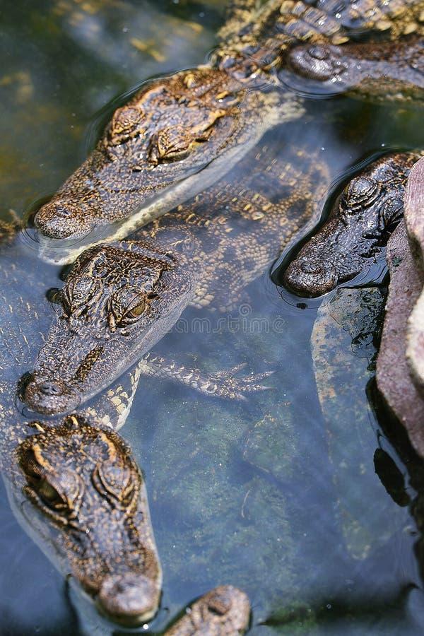 Dziecko krokodyl zdjęcie stock