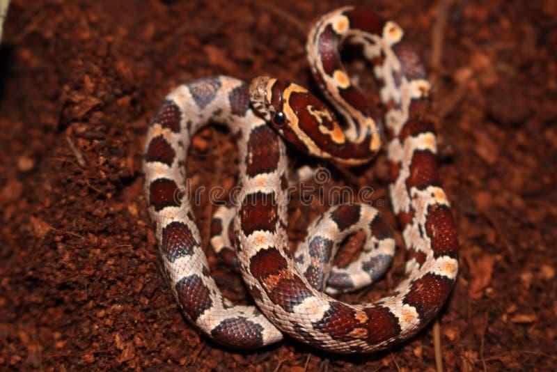 Dziecko Kukurydzany wąż zdjęcie stock