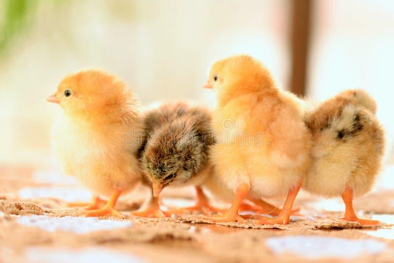 Dziecko kurczak obraz stock