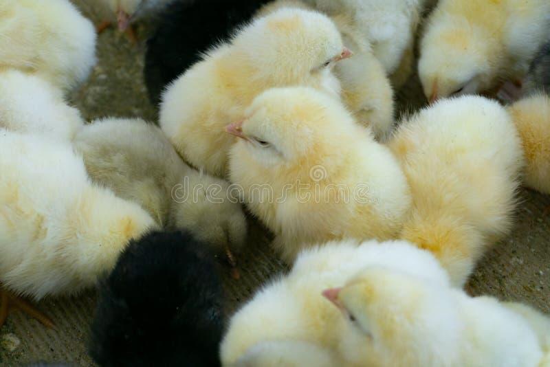 Dziecko kurczaki w?a?nie urodzeni na tacy, Drobiowy biznes kurczaka gospodarstwa rolnego biznes z wysokością uprawia ziemię techn fotografia stock