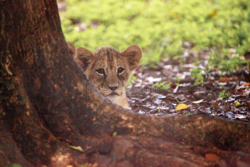 Dziecko lwa lisiątka Panthera Leo Afrykańska pielęgnacja zdjęcia royalty free