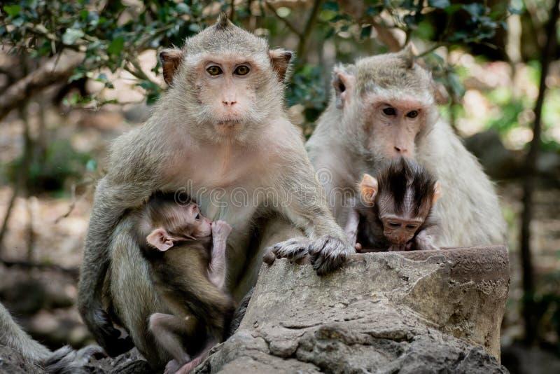 Dziecko małpa pod macierzystą ochroną Małpia rodzina z kostrzewiastym pomarańczowym futerkiem i istota ludzka lubimy wyrażenie fotografia stock