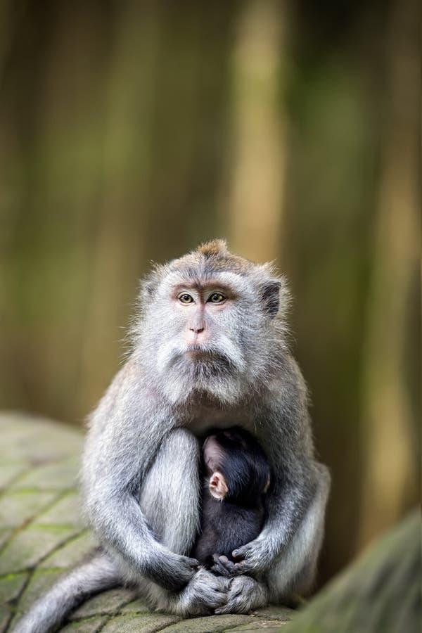 Dziecko małpia pielęgnacja od matki przy świętym małpim lasem zdjęcia royalty free