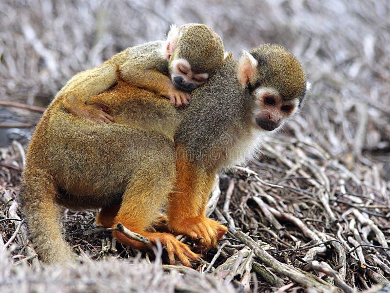 dziecko małpia wiewiórka obraz royalty free