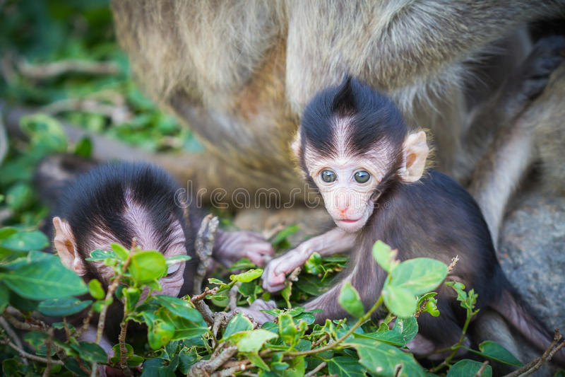 Download Dziecko makak obraz stock. Obraz złożonej z natura, zwierzę - 53778705