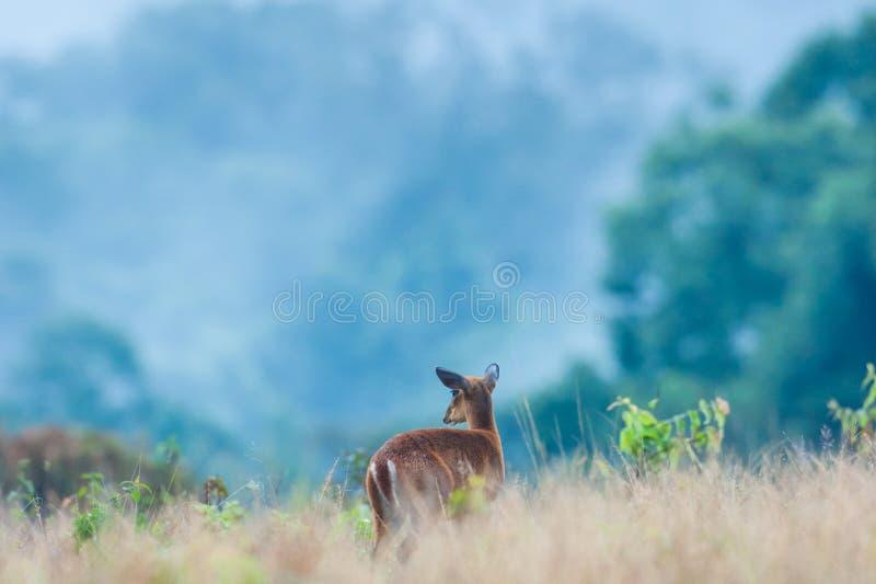 Dziecko Muntjac lub rogacze w obszarze trawiastym w porze deszczowej Tropikalny las w mgieł tło khao park narodowy Yai UNESCO zdjęcia royalty free